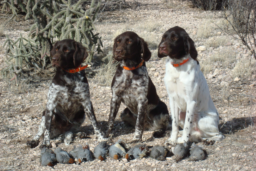 Quail hunting with pointing dogs – Ultimate Hunting